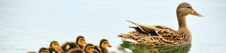 mallard-ducks-934518